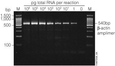 Amplification of a specific message in total RNA.