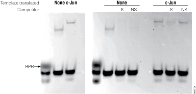 Gel shift assay with c-Jun expressed in the TNT T7 Quick Coupled Transcription/Translation System.