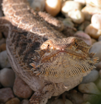 Image of a bearded dragon (Pogona vitticeps), courtesy of mrskingsbioweb.com